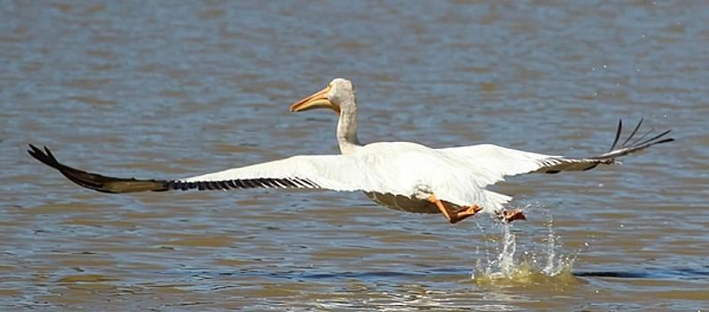 Gary Canant - White pelican taking off from lake