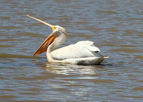 Gary Canant - White Pelican with fish in pouch