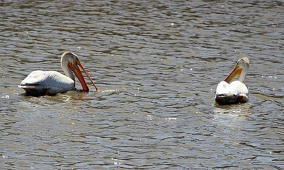 Gary Canant - White Pelicans Feeding