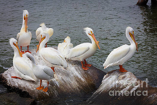 White Pelicans by Inge Johnsson