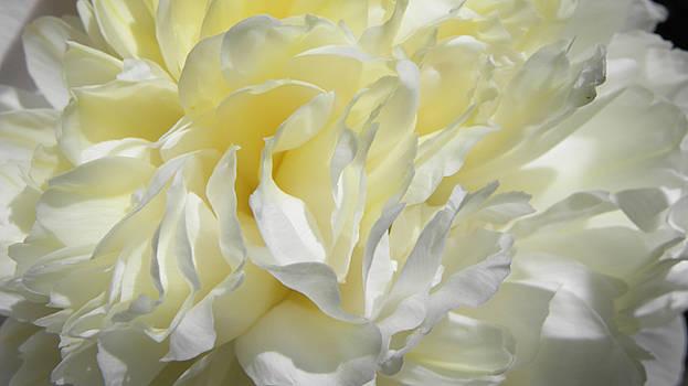 White Peone by Don Pettengill
