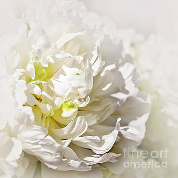 White peony by Delphimages Photo Creations