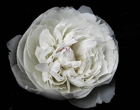 White Peony by Maria Scarfone