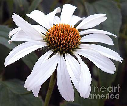 Cindy Treger - White Perfection - Coneflower