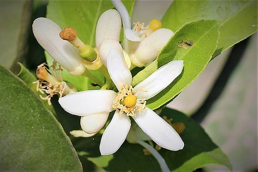 White petals by Khalid Saeed