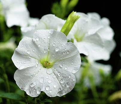 White Petunia, Balcony Garden, Hunter Hill, Hagerstown, Maryland by James Oppenheim