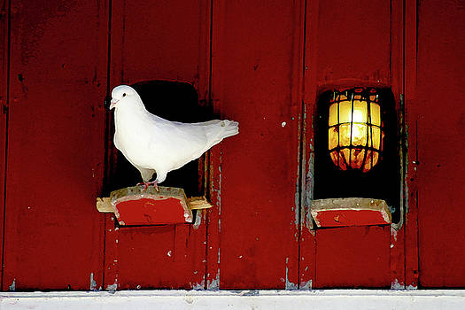 White Pigeon on perch by Jeremy Lewis