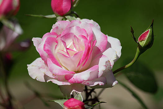 White-Pink Rose by Mark Michel
