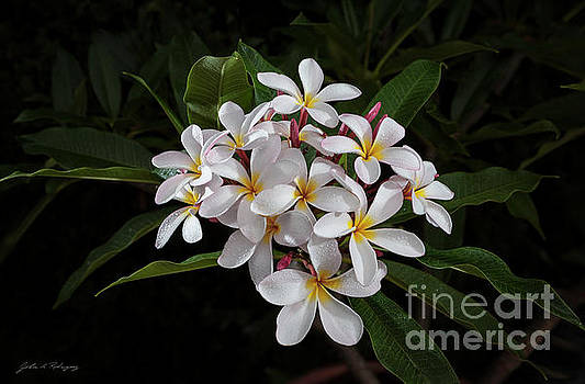White Plumerias in Bloom by John A Rodriguez