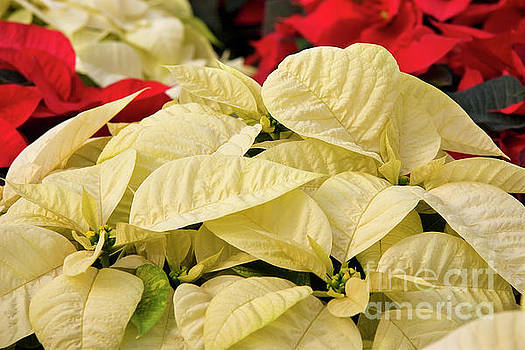 Jill Lang - White Poinsettias