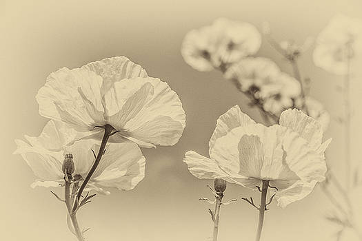 Clare Bambers - White Poppies in Sepia