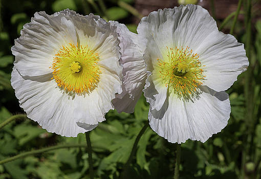 White Poppy Duo by Suzanne Gaff