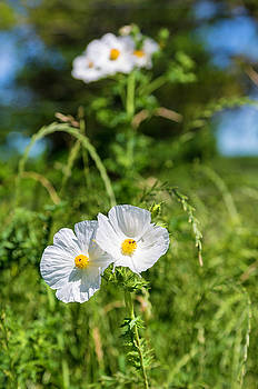 White Prickly Poppies by Bonnie Davidson