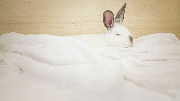 Jeanette Fellows - Sleeping Rabbit