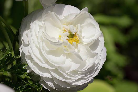 White Ranunculus Flower by Mark Michel