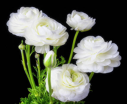 White Ranunculus Flowers by Garry Gay