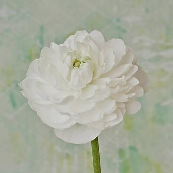 Sandra Foster - White Ranunculus
