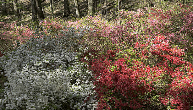 Teresa Mucha - White Red and Pink Azaleas at Happy Hollow Gardens