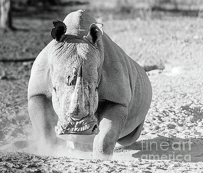 Tim Hester - White Rhino Black And White