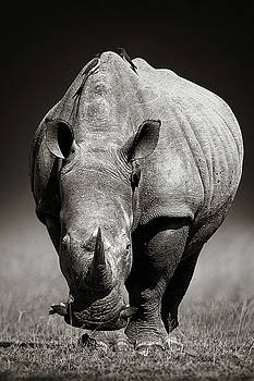 White Rhinoceros  in due-tone by Johan Swanepoel