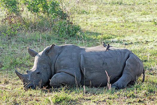 Harvey Barrison - White Rhinoceros with Oxpecker