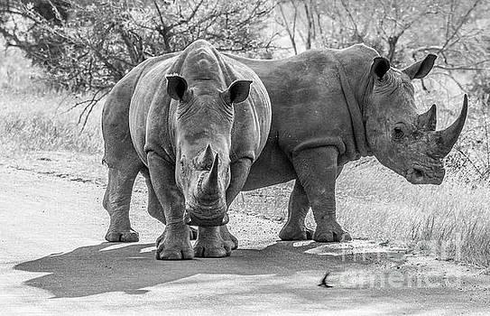 White Rhinos by Petrus Bester
