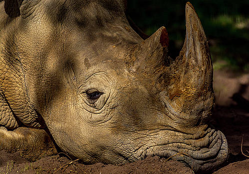 White Rino at rest by Tito Santiago