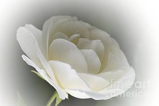 white Rose -1- by Issabild -