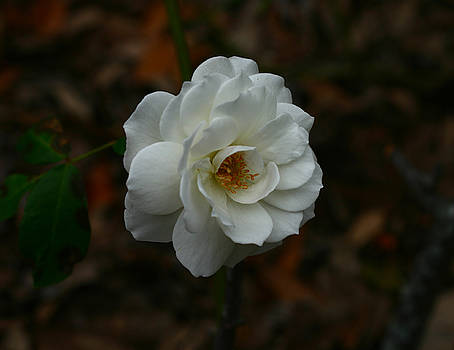 White Rose 209 by David Houston