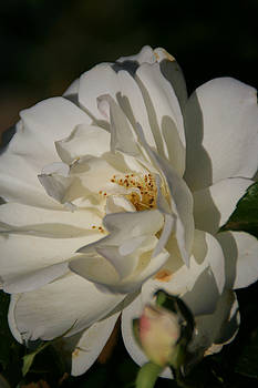 White Rose by Andrea Jean