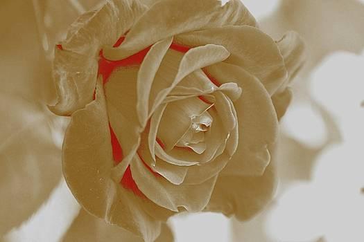 White Rose by Athala Carole Bruckner