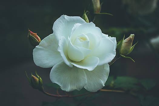White rose by Cindy Grundsten