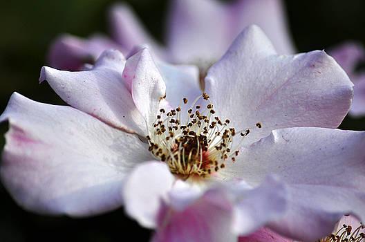 Clayton Bruster - White Rose