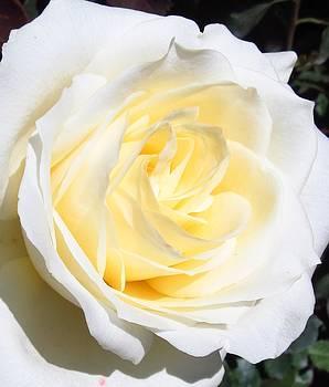 White Rose Close Up by Galina Todorova