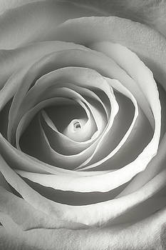 White Rose Close Up by Garry Gay
