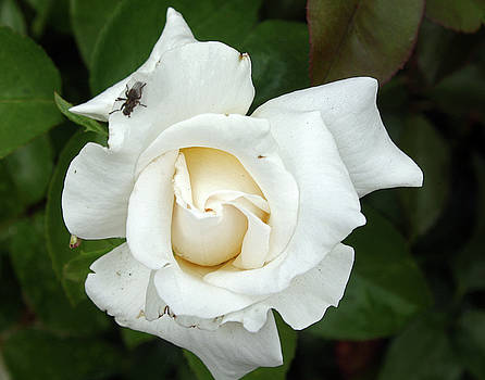 White Rose by Ellen Tully