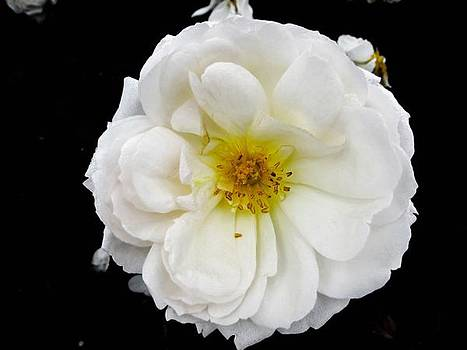 White Rose Flower by Cesar Vieira