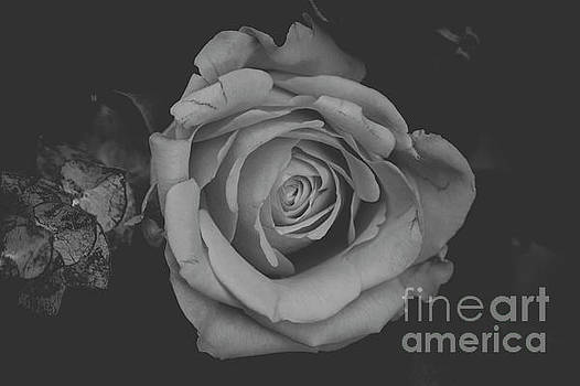 White Rose in Black and White by Maxwell Dziku
