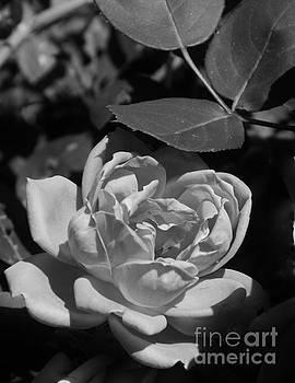 Bob Sample - White Rose In The Moonlight