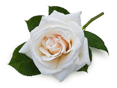White Rose by Jane McIlroy