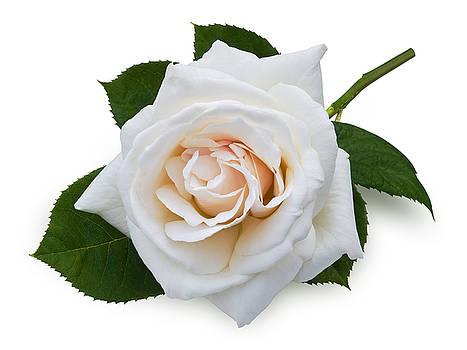 Jane McIlroy - White Rose