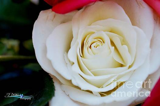 White Rose  by Jannice Walker