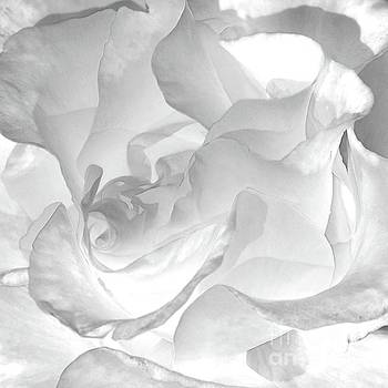 White Rose - Limited Edition Available 1 of 25 by Lauren Leigh Hunter Fine Art Photography