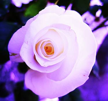 White Rose by Mary Ellen Frazee