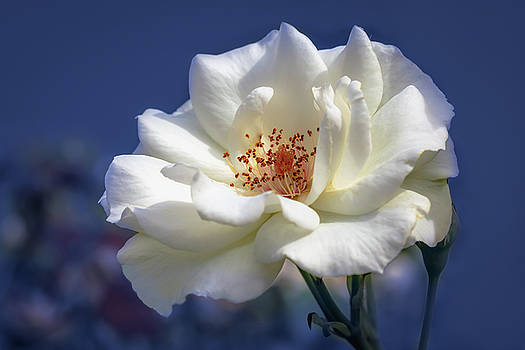 White rose on a blue background by Tim Abeln