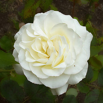 White Rose with Friend by Bonnie Follett