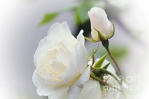 white Roses -2- by Issabild -