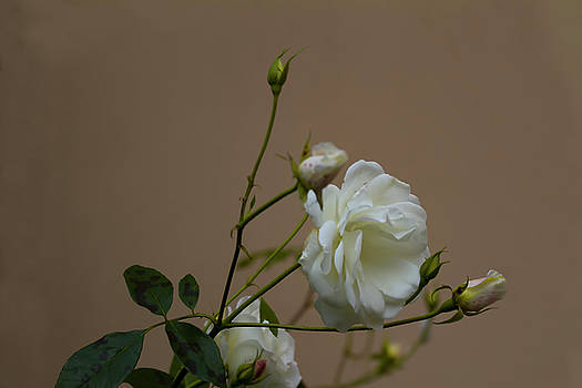 Colin Cuthbert - White Roses