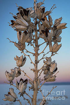 Bob Phillips - White Sands Yucca Seed Pods