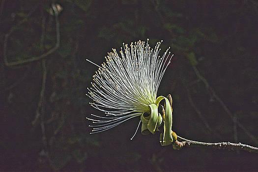 White Shaving Brush Pseudobombax Flower by Gene Norris